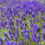 1147-41-kf-lavender-rgb